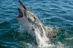 Un grand requin blanc navigue ces jours-ci près des Îles-de-la-Madeleine