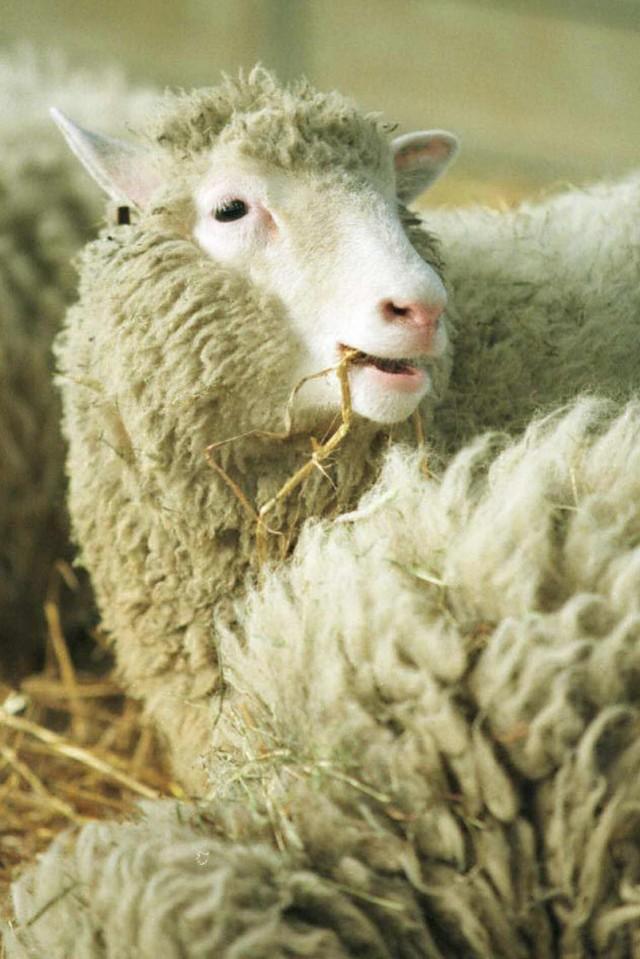 20 ans après Dolly, mange-t-on un peu de viande clonée?
