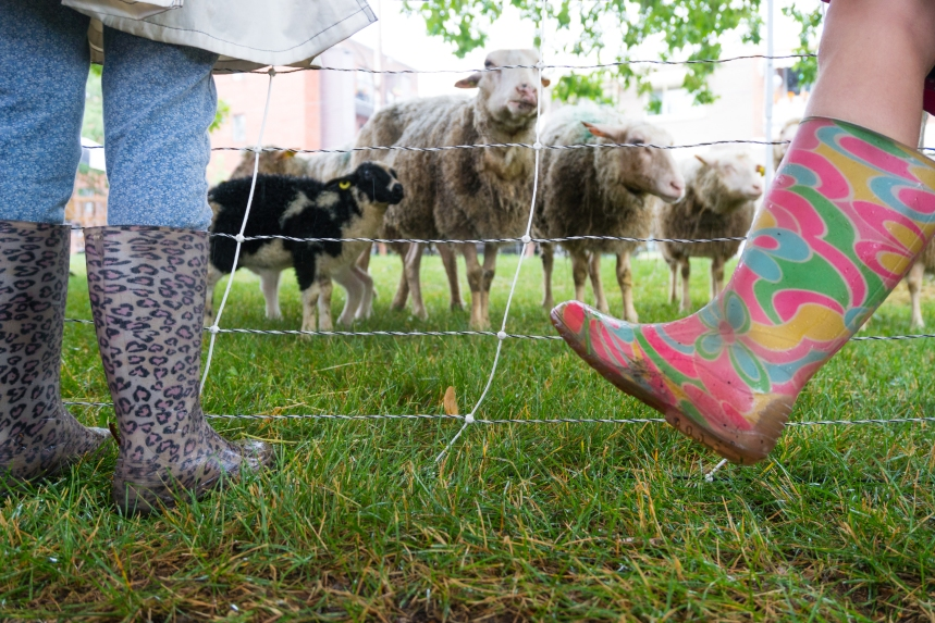 Les moutons arrivent en ville