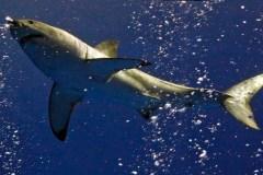 Il sera illégal d'importer des ailerons de requins au Canada