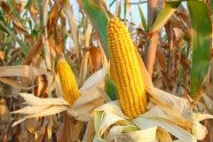Six façons de cuire ses épis de maïs