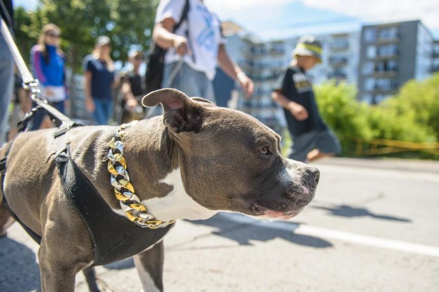 La SPCA poursuit sa lutte contre l'interdiction de certaines races de chiens