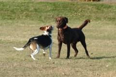 Chiens potentiellement dangereux: 38 bêtes évaluées depuis le mois d'août