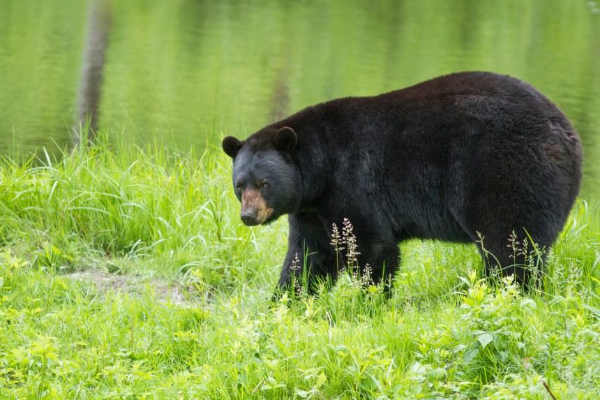 Une fillette attaquée par un ours en Colombie-Britannique