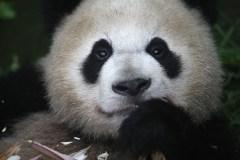 Le panda, un rare chanceux parmi 82 954 mourants