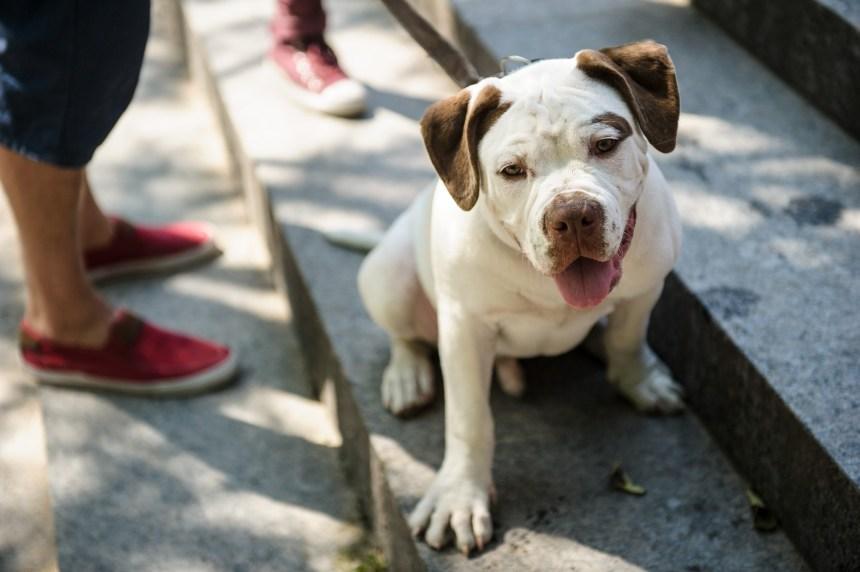 Montréal classifiera les chiens dangereux