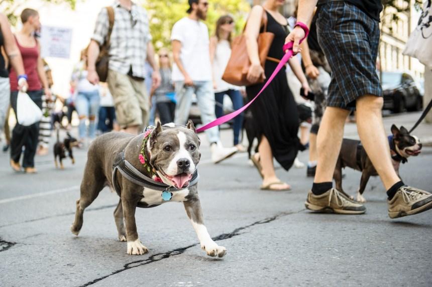 L'opposition dénonce la levée de l'interdiction des pitbulls à Montréal