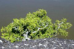 Le plus vieil arbre du Québec est en Abitibi