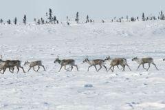 La population de caribous au Canada en déclin rapide