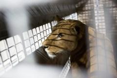 Cecil le lion a fait des petits