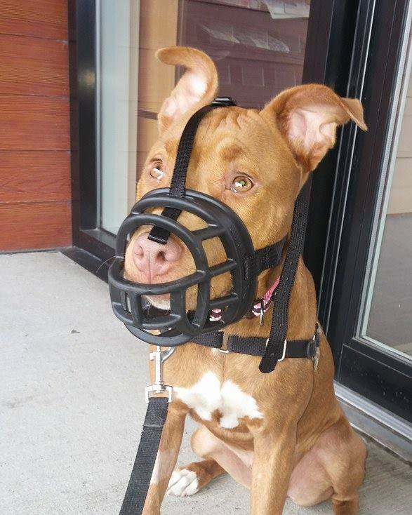 Lachine dog association seeks alternatives for muzzle
