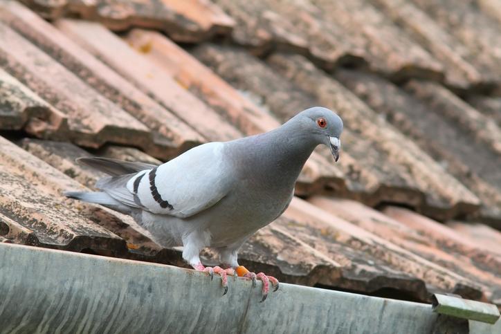 Chine: les pigeons voyageurs… voyageaient en train
