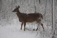 Toujours trop de cerfs dans le parc de la Pointe-aux-Prairies
