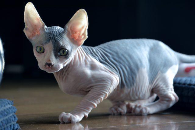 Des chats rasés vendus sur Kijiji comme étant des sphynx