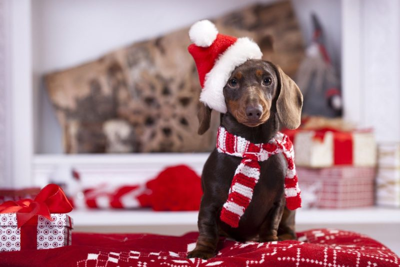 Pourquoi les animaux ne sont pas de bons cadeaux de Noël?