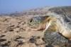 vacances_oman-tortues_c100
