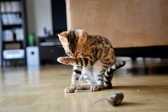 Arnaques en ligne dans des annonces de chatons gratuits