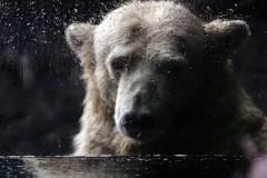 Ours polaires en danger