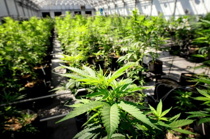 Légalisation de la marijuana: Couillard pas opposé