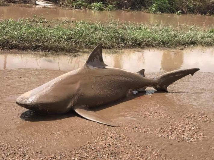 Cyclone Debbie: un requin trouvé dans la rue en Australie