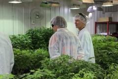 Le 2e plus gros producteur de cannabis médical au monde s'établit à Pointe-Claire