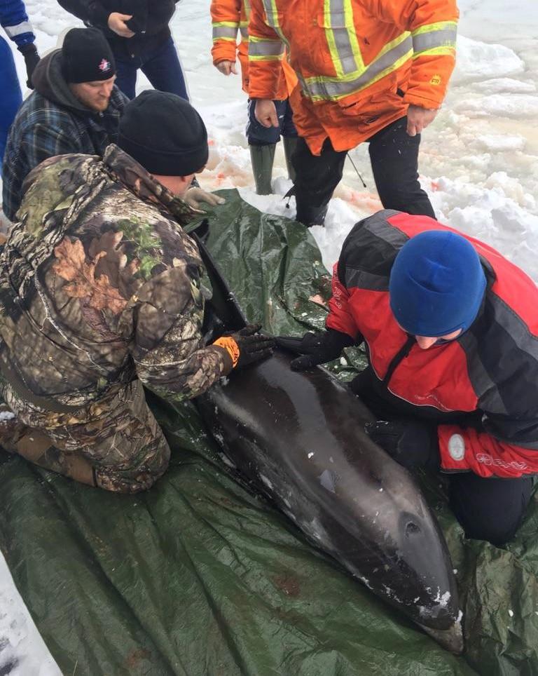 Des dauphins sauvés des glaces à T.-N.-L.