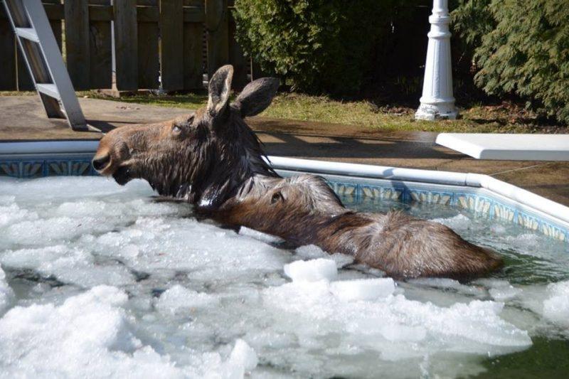 L'orignal sauvé d'une piscine creusée à Saint-Lin-Laurentides est décédé