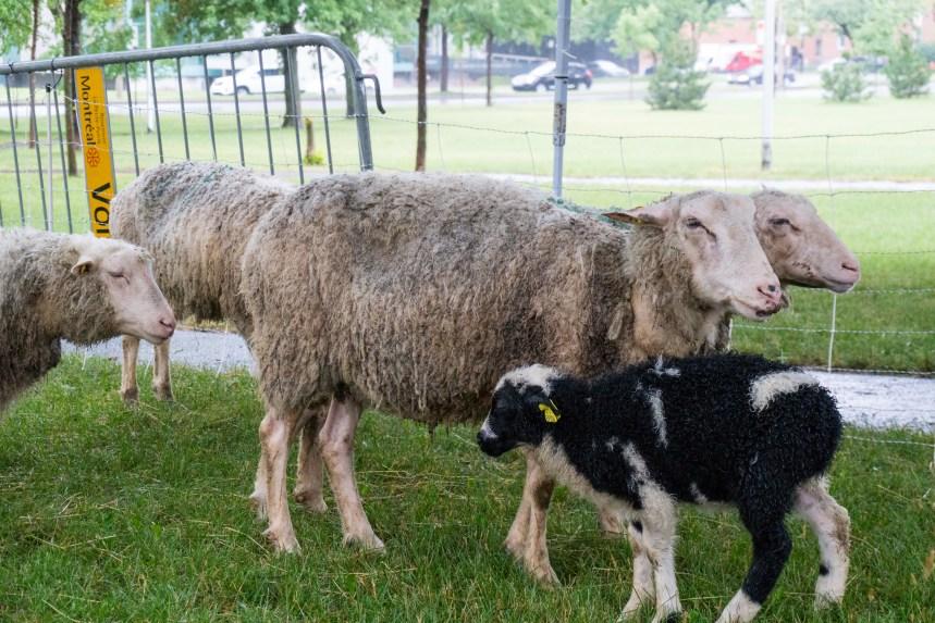 Les moutons reviendront dans Rosemont