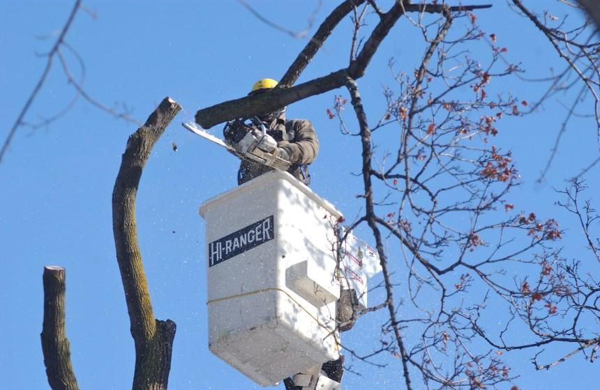 Saint-Léonard fera une coupe à ses arbres