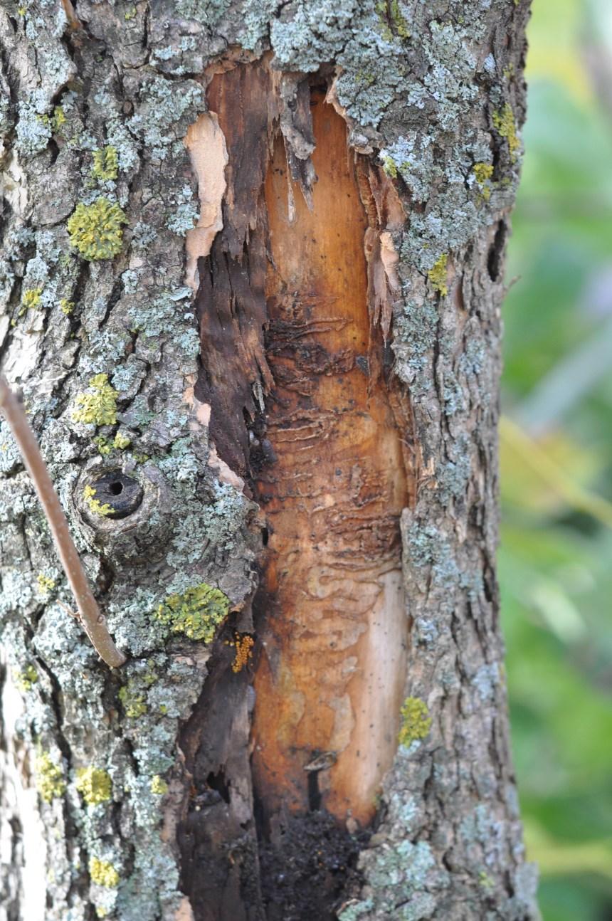 Agrile du frêne: les résidants de Rivière-des-Prairies—Pointe-aux-Trembles sommés d'agir