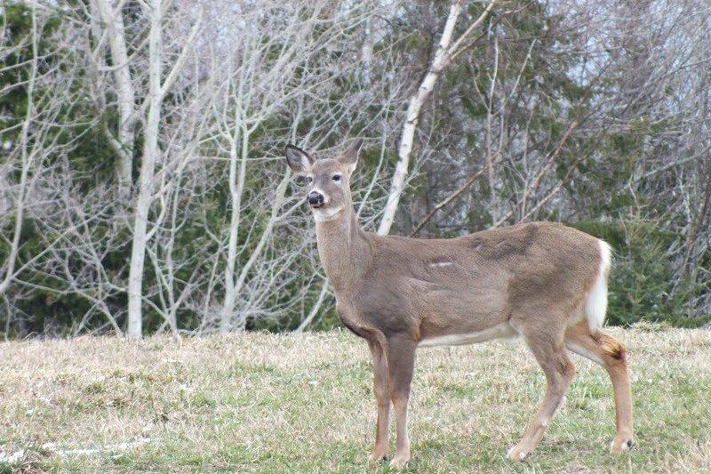 Un homme qui a tué 33 cerfs de Virginie accusé