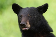 Un ours est abattu à Toronto