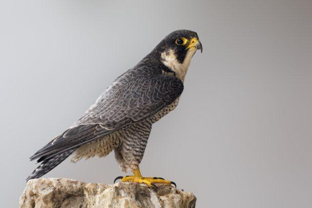 Le nid d'un couple de faucons pèlerins menacé par la démolition du pont Champlain