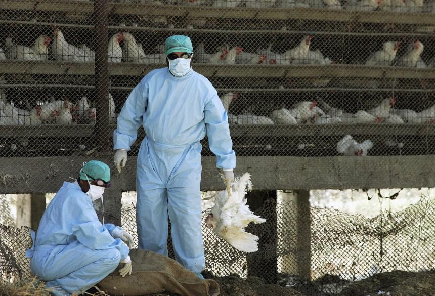 Grippe aviaire: plusieurs pays interdisent l'importation de volailles sud-africaines