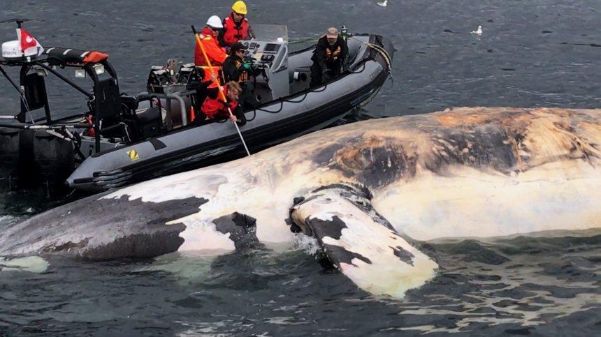 Une carcasse de baleine noire sera étudiée