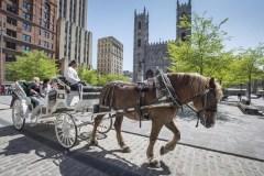 Montréal interdira les calèches à partir de 2020