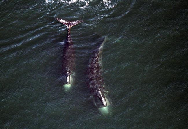 Ottawa promet de nouvelles mesures pour protéger les baleines noires