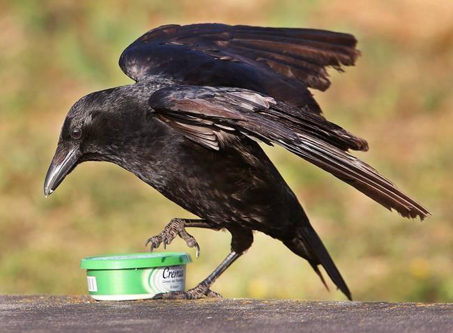 Des corbeaux dressés pour ramasser des mégots en France