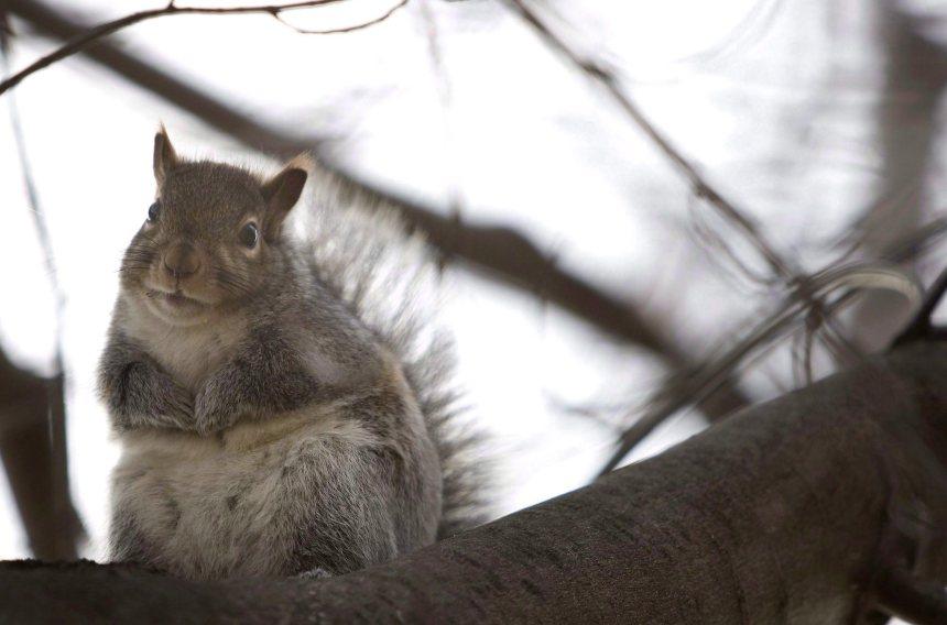 Une pétition pour légaliser la chasse à l'écureuil