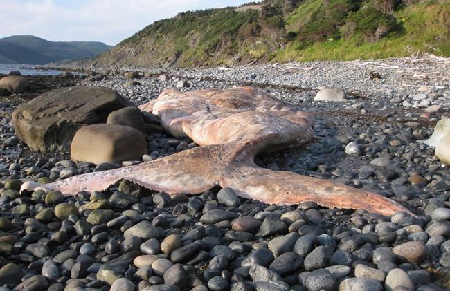 Une autre baleine noire retrouvée morte