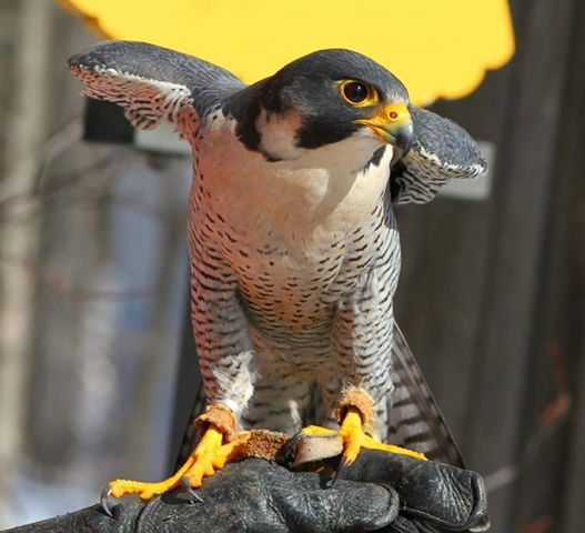 Des oiseaux de proie présentés au parc des Rapides