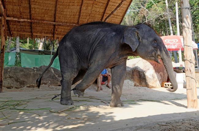 Un jeune éléphant tombe dans un égout et s'électrocute en Thaïlande