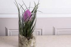 Le tillandsia, une plante dépolluante pour un intérieur sain