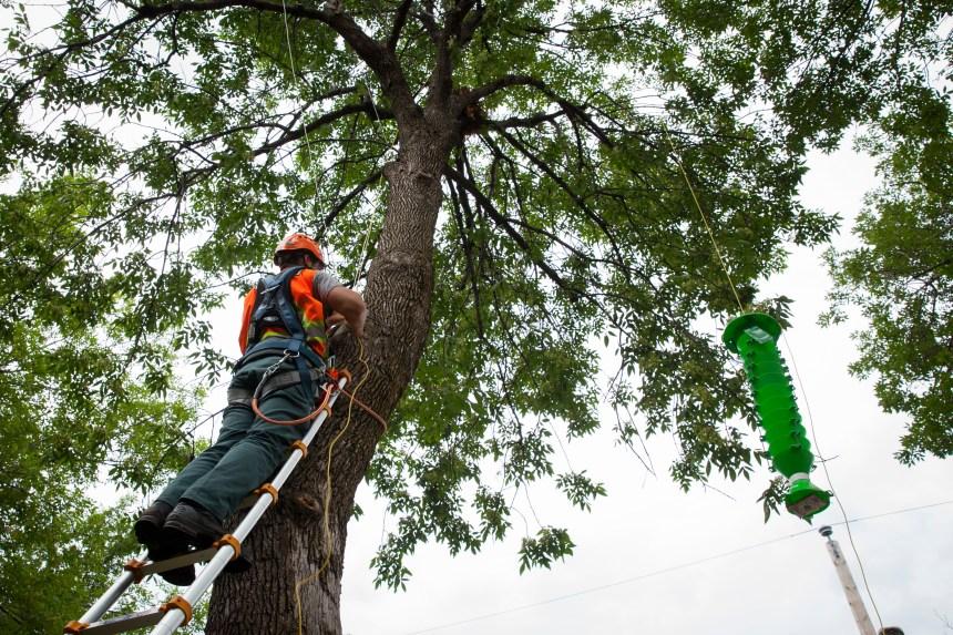 Agrile du frêne: plusieurs arbres abattus à Outremont