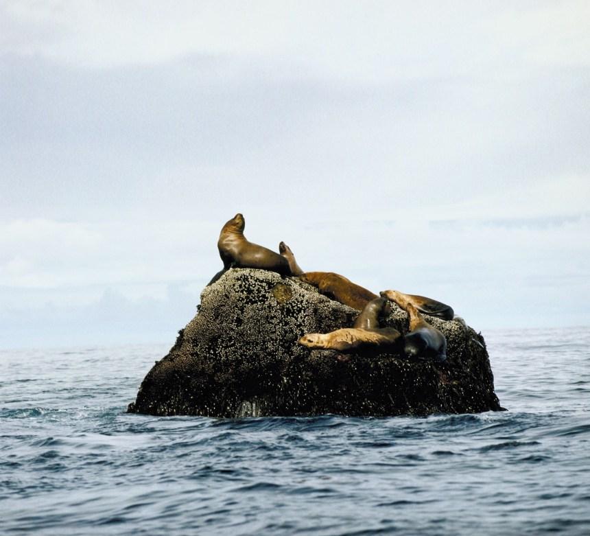 Zoom sur la viande de loup marin