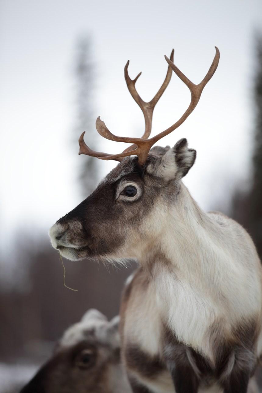 L'industrie forestière s'inquiète de la stratégie de protection du caribou