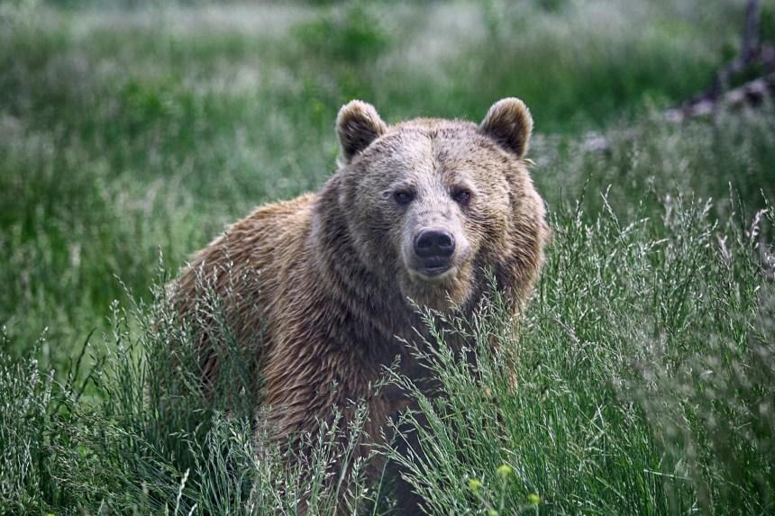 Chasse aux grizzlys interdite en Colombie-Britannique