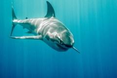 Des requins blancs sont de retour dans les Maritimes