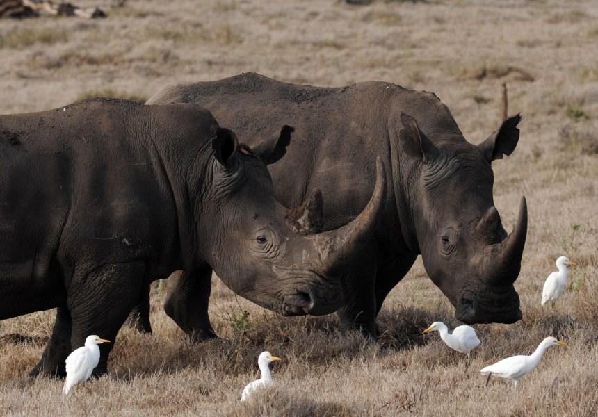 Huit rhinocéros meurent après avoir été changés de parc au Kenya