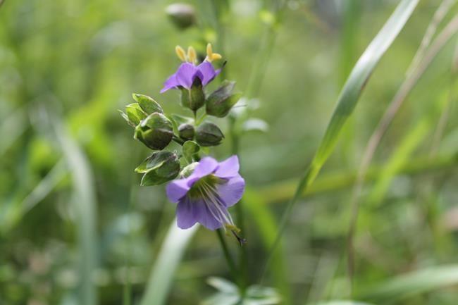 Une fleur rare est protégée en Estrie